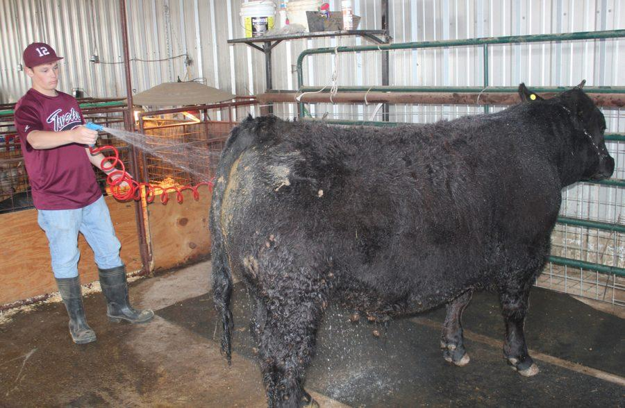 Freshman+Jacob+Fishbeck+washes+the+steer+he+will+compete+with+at+the+upcoming+Leon+County+Livestock+Show.