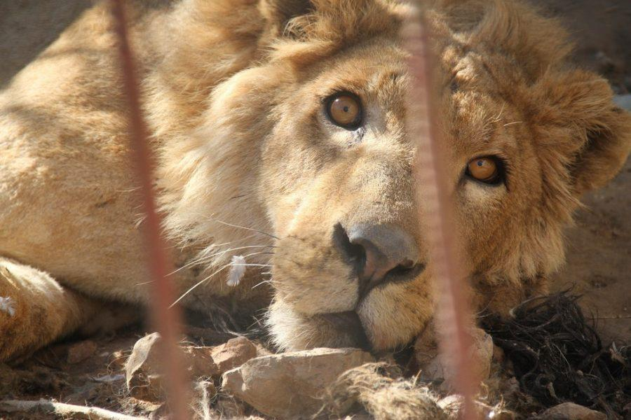 Lion+and+bear+are+rescued+from+Mosul+Zoo