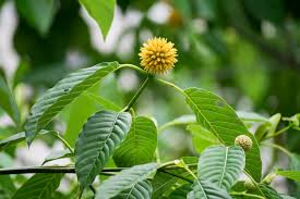 Coffee plant from Asia classified dangerous