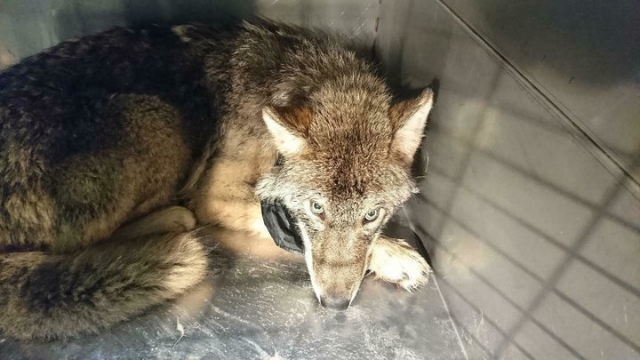 This+photo+taken+on+Thursday%2C+Feb.+21%2C+2019+and+released+by+the+Estonian+Union+for+the+Protection+of+Animals%2C+shows+an+approximately+one-year+old+male+wolf+suffering+from+shock+and+hypothermia+in+an+animal+shelter+near+Parnu+River%2C+Estonia.+Estonian+construction+workers+got+the+shock+of+their+lives+when+they+found+out+the+animal+they+saved+from+an+icy+river+was+not+a+dog+but+a+wolf.+%28Estonian+Union+for+the+Protection+of+Animals+via+AP%29