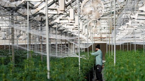 Automated fans and cultivation lights are pictured operating above cannabis plants at RiNo Supply