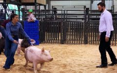 Freshman Nicollette Sheridan keeps an eye on the judge while she shows her hog.