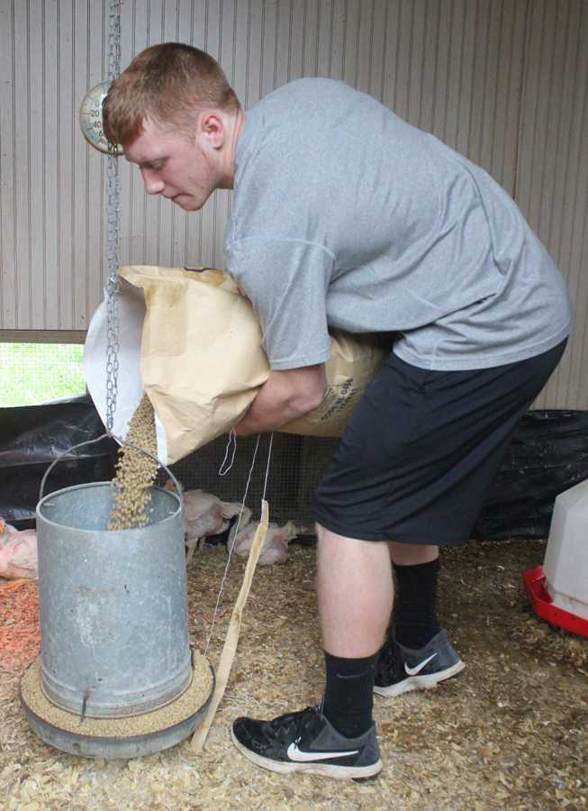 Sophomore+Matt+Gilliam+pours+feed+for+his+chickens.+He+and+his+younger+sister%2C+Makayla%2C+are+preparing+for+the+county+show+next+week.