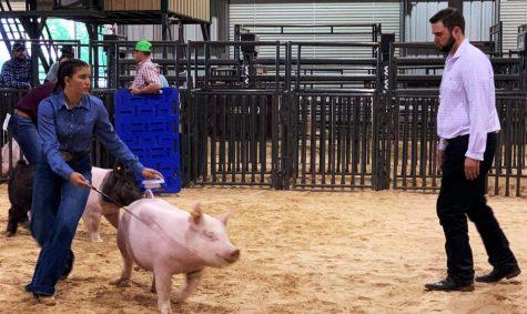 Freshman Nicollette Sheridan keeps an eye on the judge while she shows her hog.